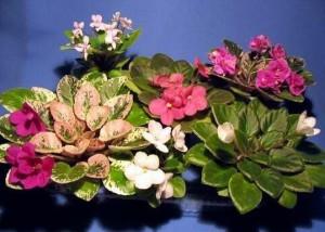 Комнатные растения для любви фото