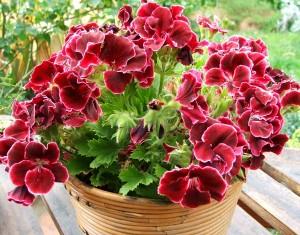 Комнатные растения опасные для здоровья фото