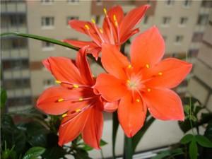 цветущие комнатные растения фото